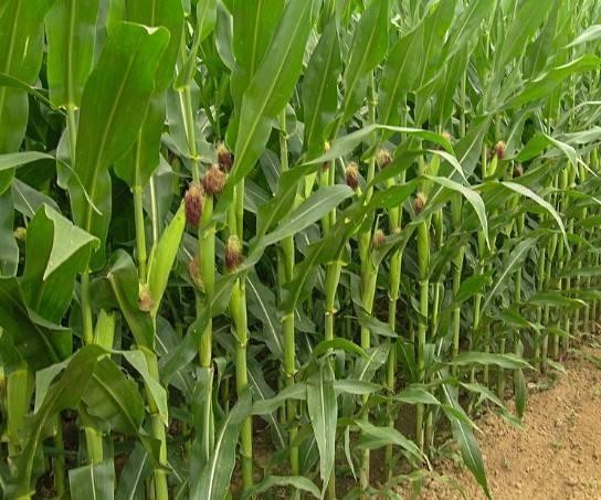 山东省2019年夏玉米后期管理技术意见