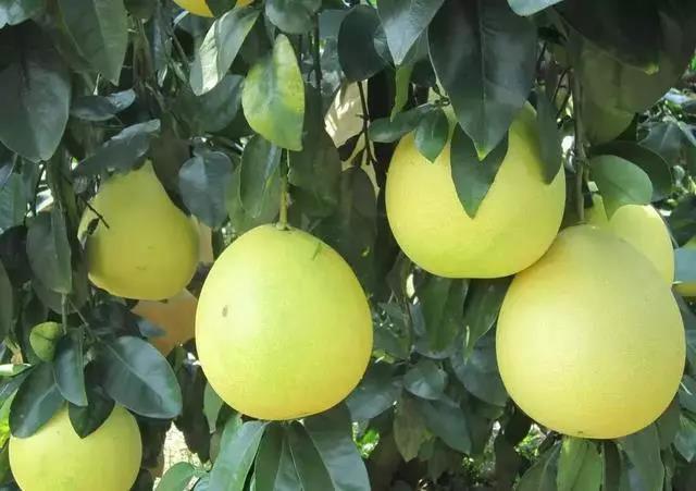 红柚价格高,如何防治病虫害方法全在这里