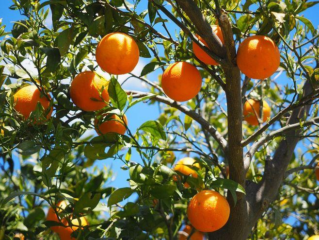 9月柑橘病虫害,你得这么防治才靠谱