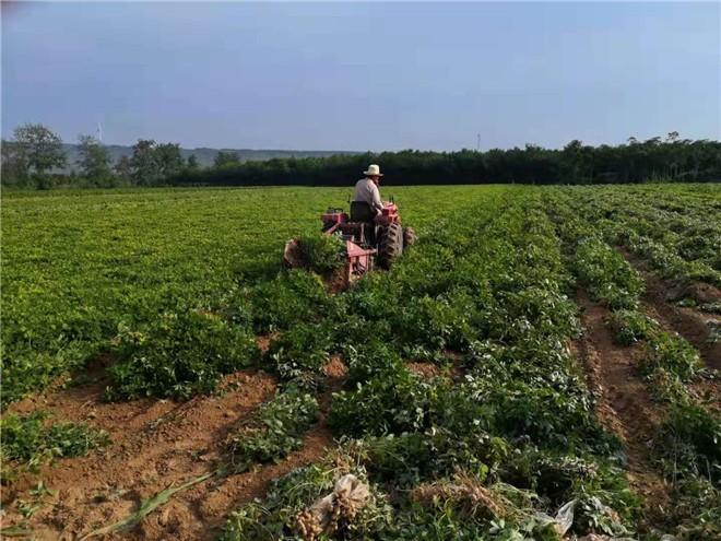 三门峡市农业农村局领导到灵宝市调研花生收获情况