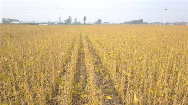 黄淮海夏大豆百亩实收亩产超300公斤