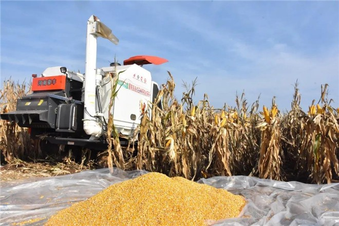玉米不减产 多收一茬豆