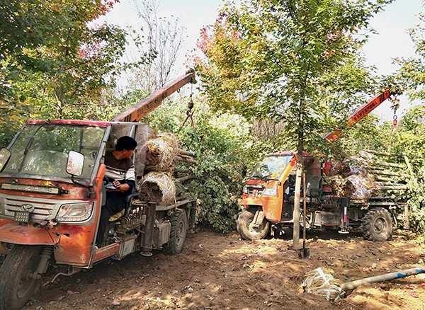 """郯城:挖树队借力""""机械化""""奔上小康路"""