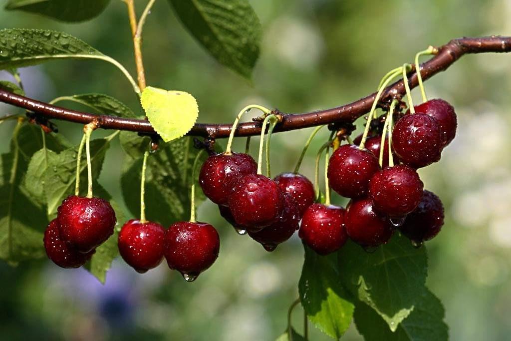 山东省大樱桃产业发展指导意见