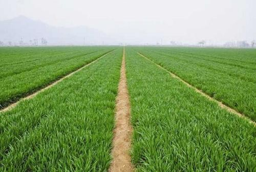 2020年全国冬小麦春季管理技术意见