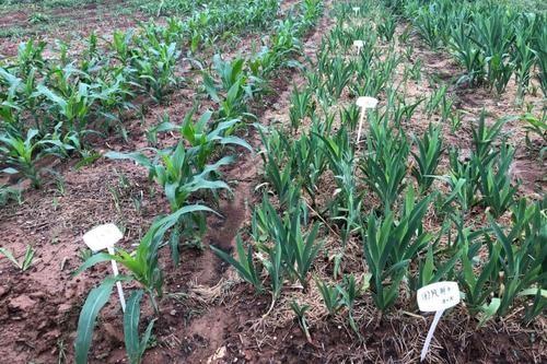 玉米、大豆宽窄行间作种植模式分析与探究