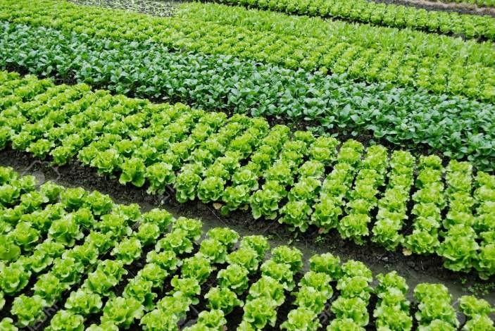 应对春季寒潮加强在田蔬菜管理的生产技术指导意见