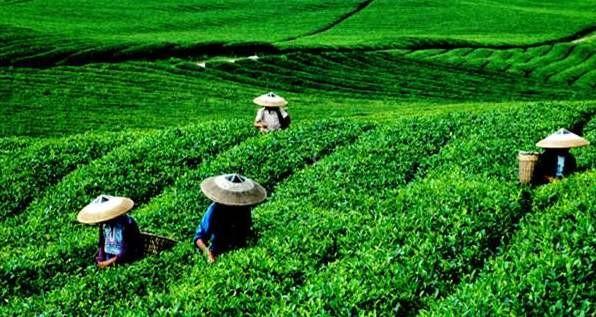 雨雪低温天气对茶叶生产的影响及应对措施