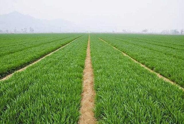 河北省2020年冬小麦春季田间管理技术建议