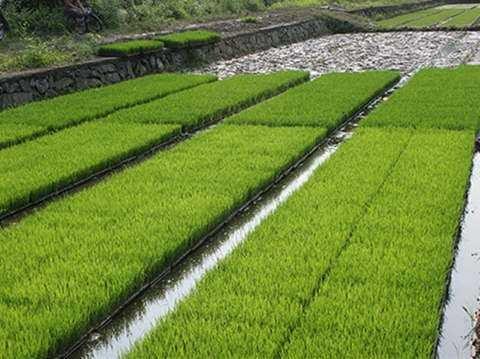 2020年东北地区水稻生产技术指导意见