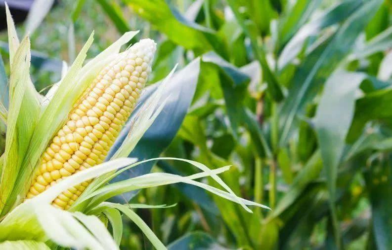 2020年北方春玉米生產技術指導意見