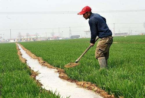 春季冬小麦如何科学灌溉?