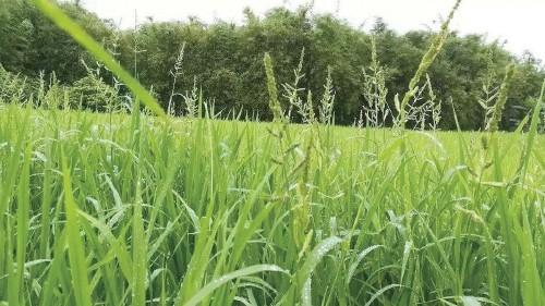 2020年農田雜草科學防控技術方案