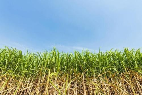 2020年糖料蔗春季生产技术指导意见