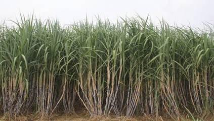 2020年糖料蔗春季生產技術指導意見
