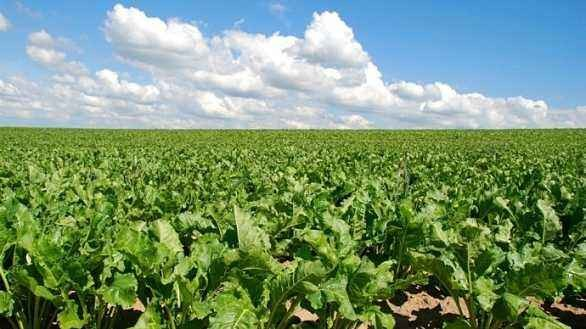 2020年甜菜春季生产技术指导意见