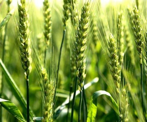 山东省2020年小麦中后期管理技术意见