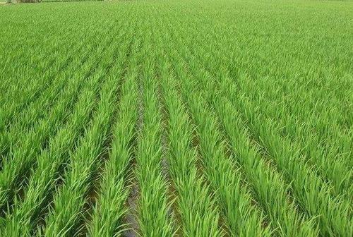 南方早稻苗期防寒保苗技术指导意见