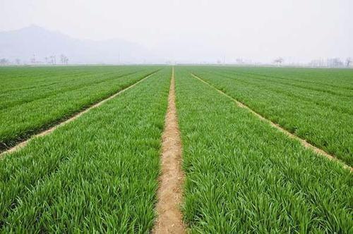 春小麦不同播种方式对比试验及效果