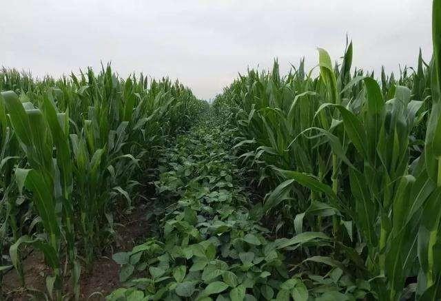 玉米大豆带状复合种植技术指导意见