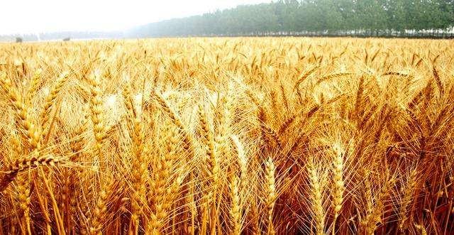安徽省关于做好小麦生产后期管理工作的通知