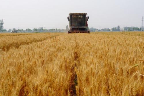 4300万亩小麦开镰在即,收成如何?
