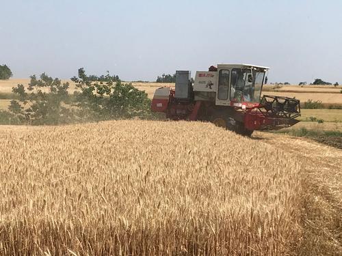 """多地夏粮成熟 小麦主产区开启""""三夏""""抢收抢种模式"""