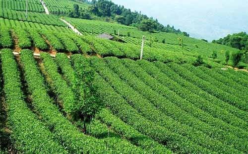 2020年茶树主要病虫害防控技术方案