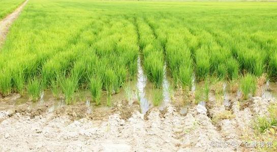 是什么技术让水稻种植更轻简高效?