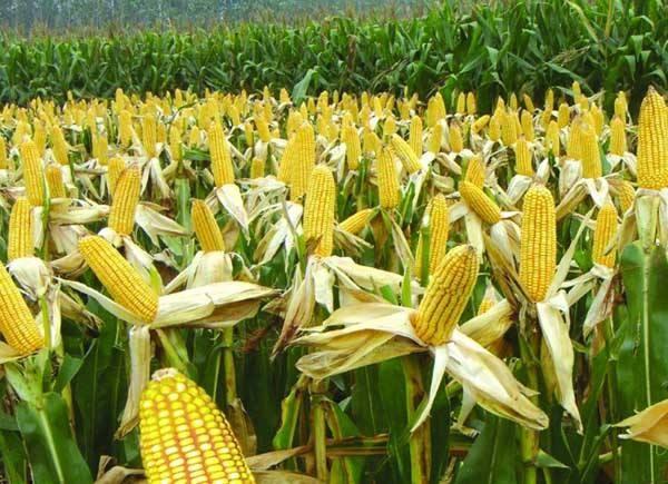 湖北省2020年玉米抗灾生产技术指导意见