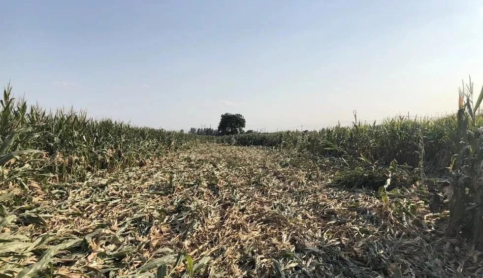 农业农村部紧急部署东北地区倒伏玉米机收农机手培训