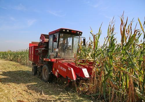 河北秋糧收獲面積超七成 夏玉米實收測產812.5公斤